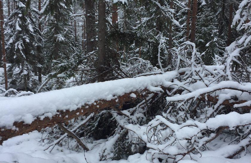 Puu kaatunut metsässä